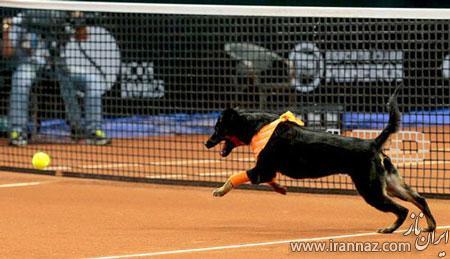 جایی که سگ ها نقش توپ جمع کن را دارند! (عکس)