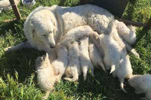 سگی که 17 توله به دنیا آورد! (عکس)