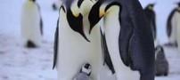 چرا پنگوئن ها در دمای زیر صفر یخ نمی زنند؟