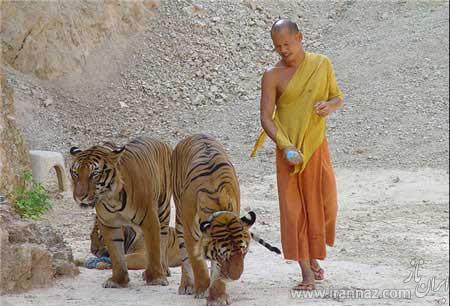 عکس هایی جالب و دیدنی از معبد ببرها در تایلند