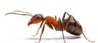 جالب ترین دانستنی ها درباره مورچه ها