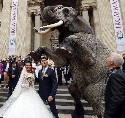استفاده از فیل به جای ماشین عروس (عکس)
