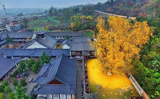 عکس هایی از برگ ریزان یک درخت زیبای 1400 ساله  عکس هایی از برگ ریزان یک درخت زیبای ۱۴۰۰ ساله 1462974608 irannaz com