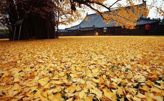 عکس هایی از برگ ریزان یک درخت زیبای 1400 ساله  عکس هایی از برگ ریزان یک درخت زیبای ۱۴۰۰ ساله 1462974609 irannaz com