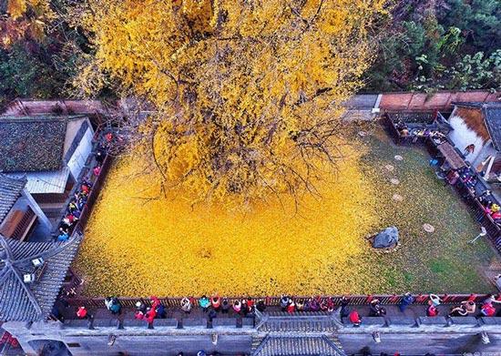 عکس هایی از برگ ریزان یک درخت زیبای 1400 ساله  عکس هایی از برگ ریزان یک درخت زیبای ۱۴۰۰ ساله 1462974610 irannaz com