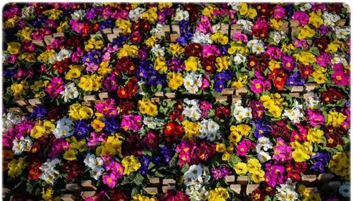 تصاویر زیبا و دیدنی از بازار گل تهران  تصاویر زیبا و دیدنی از بازار گل تهران 1463228968 irannaz com