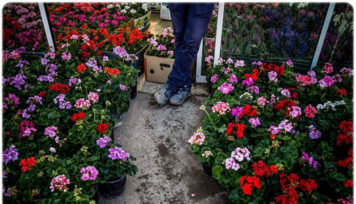 تصاویر زیبا و دیدنی از بازار گل تهران  تصاویر زیبا و دیدنی از بازار گل تهران 1463228975 irannaz com
