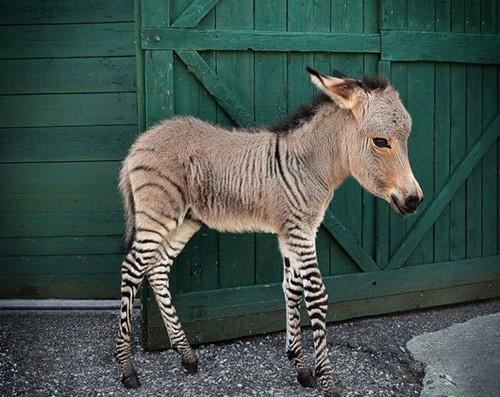 تصاویری عجیب و غریب از حیوانات دورگه