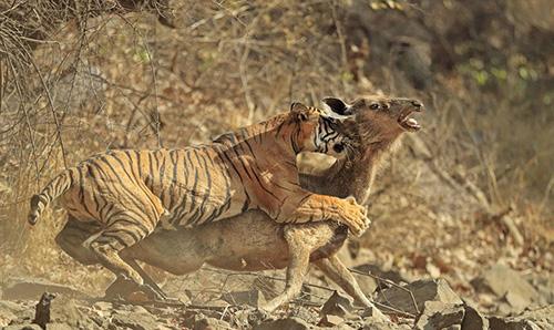 عکس های وحشتناک از لحظه شکار گوزن توسط ببر
