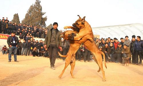عکس هایی از نبرد خونین و وحشتناک سگها