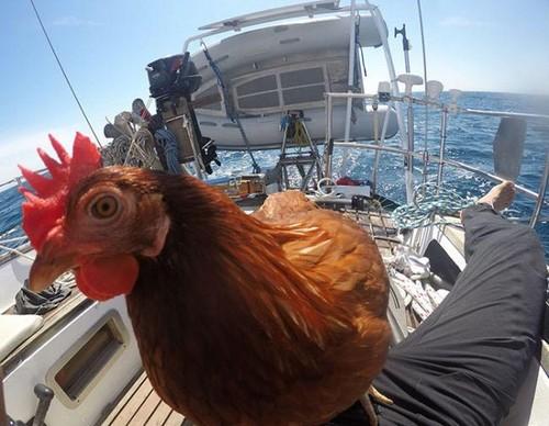 عکس های دیدنی از خوشبخت ترین مرغ جهان