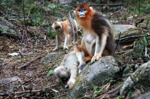 عزاداری عجیب میمون مادر بعد از مرگ فرزندش (عکس)  عزاداری عجیب میمون مادر بعد از مرگ فرزندش (عکس) 146780538810306 irannaz com