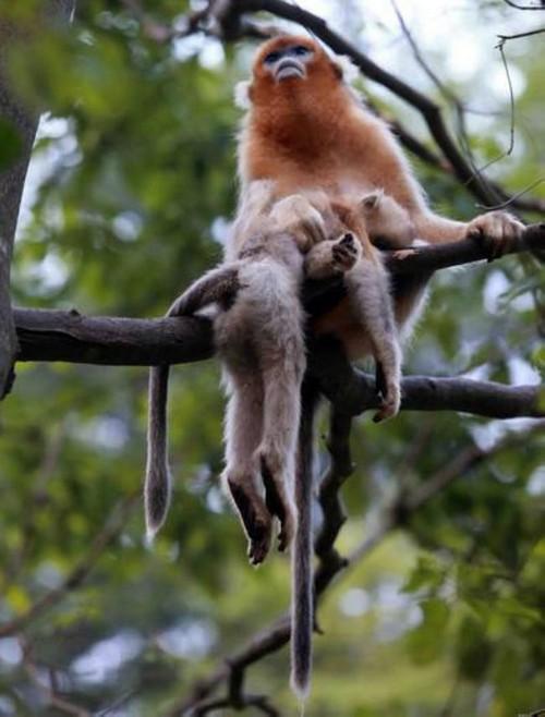 عزاداری عجیب میمون مادر بعد از مرگ فرزندش (عکس)  عزاداری عجیب میمون مادر بعد از مرگ فرزندش (عکس) 146780539521355 irannaz com