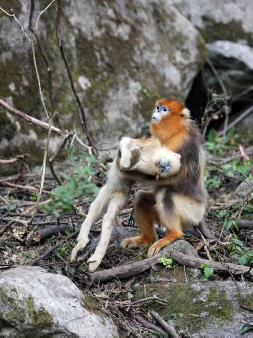 عزاداری عجیب میمون مادر بعد از مرگ فرزندش (عکس)  عزاداری عجیب میمون مادر بعد از مرگ فرزندش (عکس) 146780540641723 irannaz com