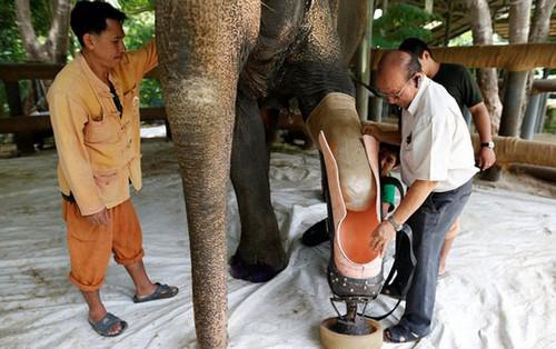 ساخته شدن پای مصنوعی برای فیل ها در تایلند (عکس)