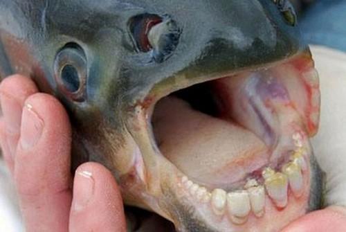 کشف ماهی با دندان شبه انسان (عکس)