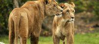 فرار جنجالی شیرها از باغ وحش (عکس)