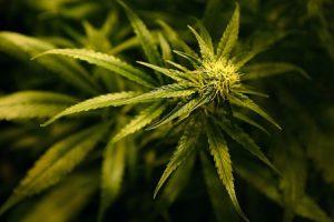 از خواص گیاه شاهدانه چه می دانید؟