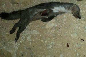 ترس و وحشت مردم از این حیوان آدمخوار (عکس)