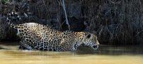 عکس های باورنکردنی از شکار تمساح توسط یک پلنگ