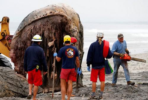 جنجالی شدن دفن این وال عظیمالجثه (عکس)