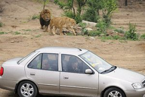 خورده شدن این خانم میانسال توسط ببر وحشی (عکس)