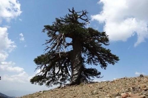 با پیرترین درخت زنده اروپا آشنا شوید (عکس)
