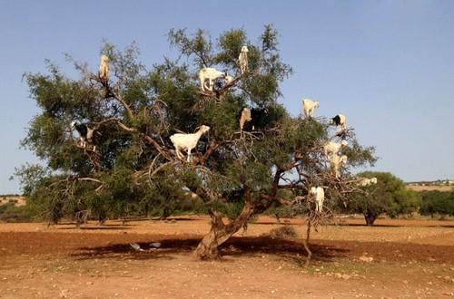 عکس های دیدنی از درخت بز در مراکش