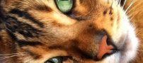 عکس هایی زیبا از گربه ای که شبیه به پلنگ است