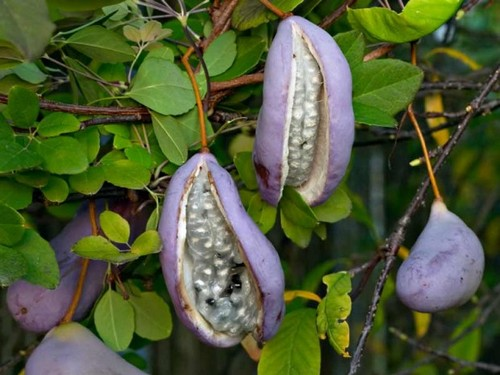عکس های باورنکردنی از عجیب ترین میوه های دنیا  عکس های باورنکردنی از عجیب ترین میوه های دنیا 147281898888459 irannaz com