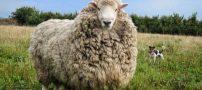 گوسفندی همراه با 40 کیلوگرم پشم (عکس)