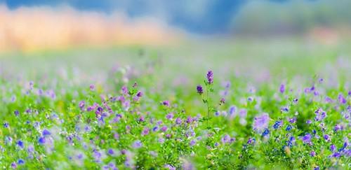 از خواص دارویی گیاه یونجه چه می دانید؟