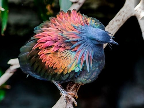 عکس های دیدنی از زیباترین کبوتر دنیا