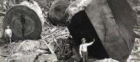 عکس های قدیمی از قطع بزرگترین درختان جهان