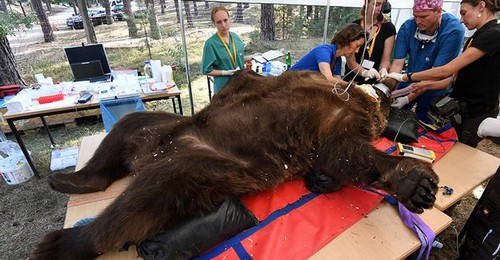 خرس ۲۵۰ کیلویی به دندان پزشکی رفت (عکس)