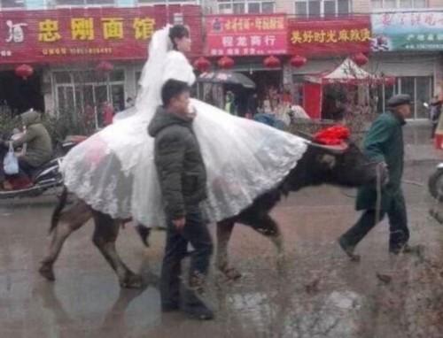 گاو سواری باورنکردنی این زن در روز عروسی اش (عکس)