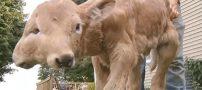 به دنیا آمدن گوساله چهار چشم عجیب و غریب (عکس)