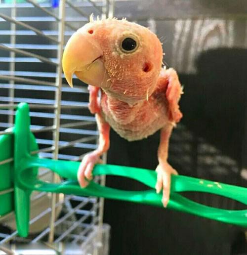 بانمک ترین مرغ عشق دنیا را بشناسید (عکس)