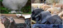 مرغ های عجیب و غریب و با گوشت های سیاه (عکس)