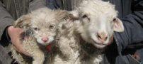 این گوسفند عجیب یک توله سگ بدنیا آورد (عکس)