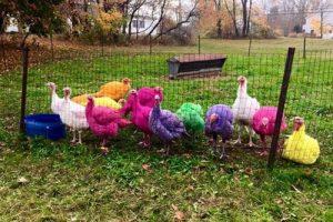عکس های جالب از بوقلمون های رنگی زیبا