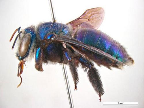 این زنبور زیبا چوب ها را سوراخ می کند (عکس)