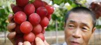 فروش خوشه انگور 27 میلیون تومانی در ژاپن (عکس)