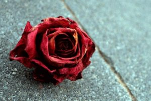 شعر زیبای گل خشکیده از فریدون مشیری