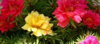 با روش های پرورش گل ناز آشنا شوید!!
