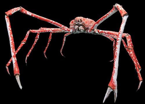 بزرگترین خرچنگ جهان شبیه به عنکبوت است (عکس)