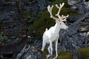 گونه ی دیده نشده از گوزن سفید در سوئد (عکس)