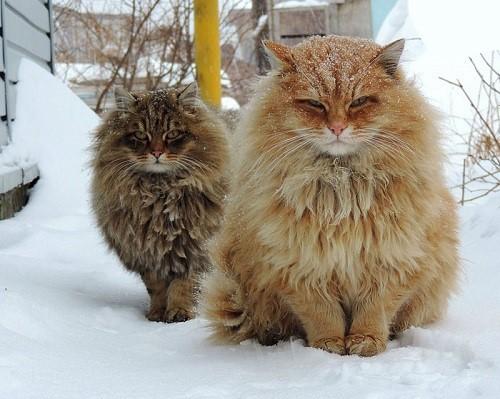 عکس هایی باورنکردنی از زیباترین گربه های دنیا