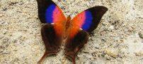 این پروانه لقب زیباترین پروانه دنیا را به خود گرفت (عکس)