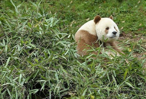 این خرس تنها پاندای قهوه ای دنیا می باشد (عکس)